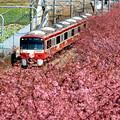 お花見電車(京急:河津桜バージョン)