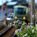 お花見電車(江ノ電バージョン With ハマダイコン)