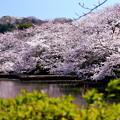 春の源氏池