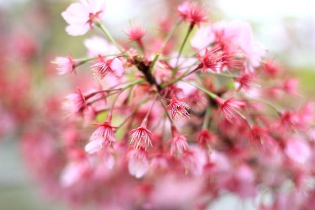 ツンツン横浜緋桜