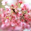 Photos: ツンツン横浜緋桜