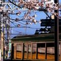 お花見電車(江ノ電バージョン With 桜)