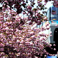 Photos: Running Through 八重桜