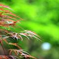Photos: 春もみじ