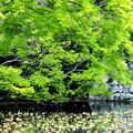 新緑の小田原城