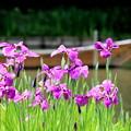 写真: 初夏の三渓園