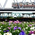 お花見電車(京成バージョン)