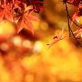 源氏山、紅葉。