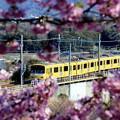 Photos: 春咲電車