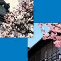 写真: 小江戸の春