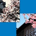 小江戸の春