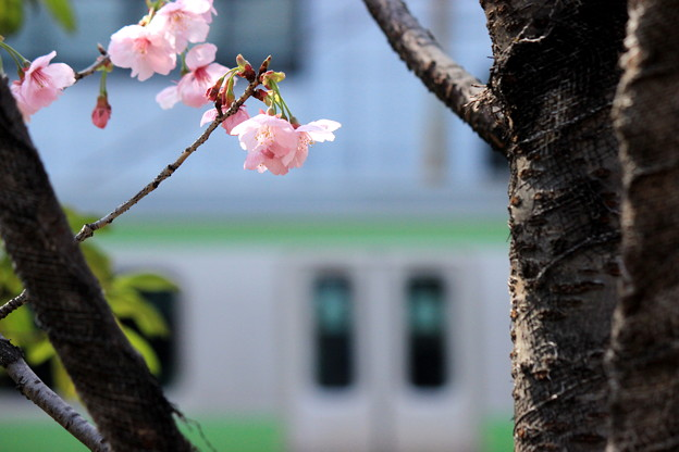 Photos: お花見電車(山手線バージョン)