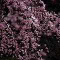 Photos: 花曇り~ほんのりと~