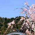 Photos: 大山桜