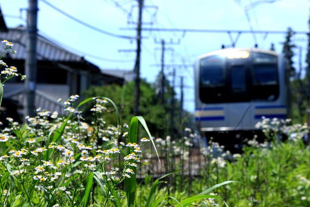 花咲く鎌倉~貧乏草バージョン~
