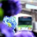 紫陽花電車~山手線バージョン~