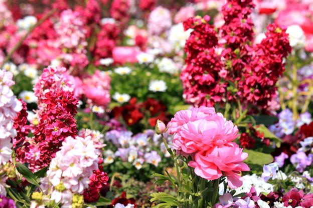 ピンクの花園