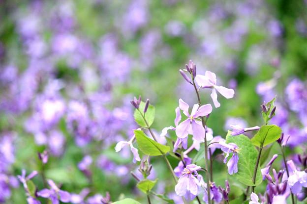 Pop Spring~Purple Side~
