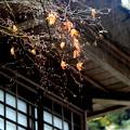 写真: 名残り紅葉~Let It Rain~