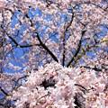Sakura Drops