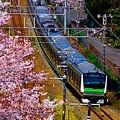 写真: お花見電車~JR横浜線バージョン~