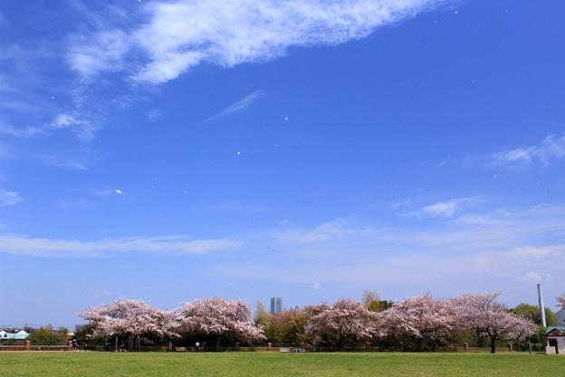 写真: 桜の馬場