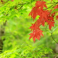 はるもみぢ~Red In Green~