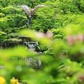 写真: 初夏の鶴