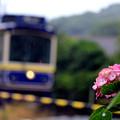 Photos: 紫陽花電車~江ノ電バージョン~