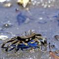 写真: Dancin' Crab