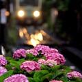 写真: 江ノ電来るよ♪~紫陽花バージョン~