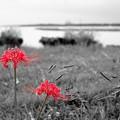 海辺の紅い花