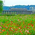 写真: 秋桜電車