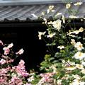 写真: 秋の菊