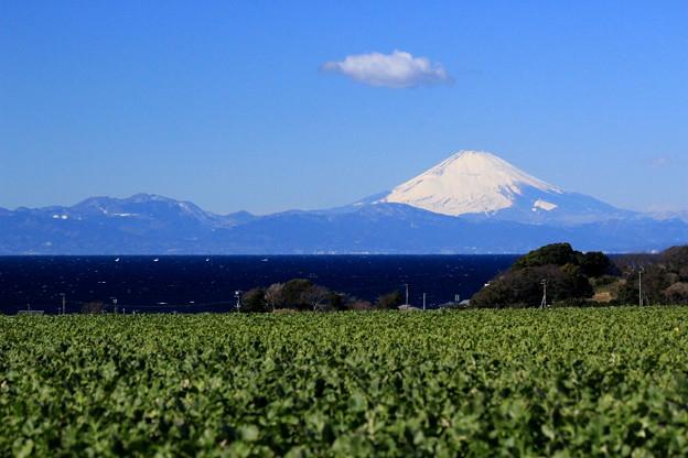 写真: だいこん富士