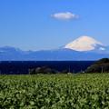 Photos: だいこん富士