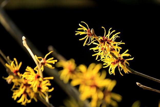 写真: マンサク、咲く。