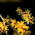 Photos: マンサク、咲く。