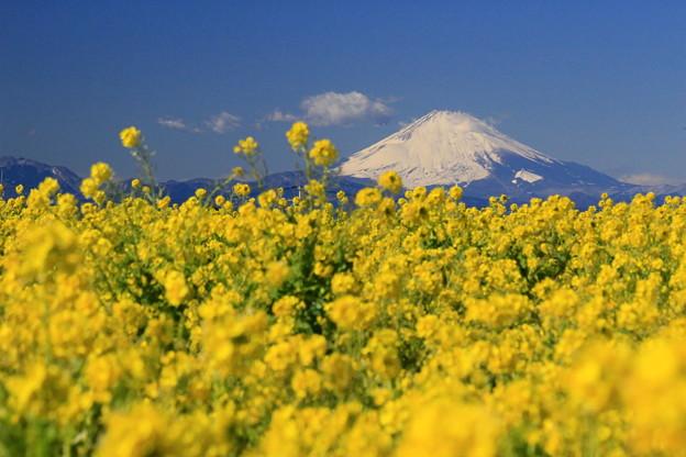 Photos: 春咲富士