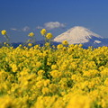 写真: 春咲富士