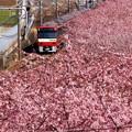 写真: Sakura Bloomin!