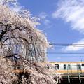 写真: お花見電車