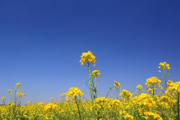 茨城 Hyper Yellow Spring