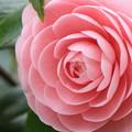 写真: Candy Pink