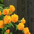 写真: 古都の黄花