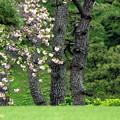 写真: Imperial Cherry Blossom