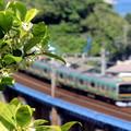 写真: ♪みかんの花咲く丘♪