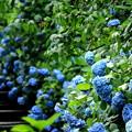 写真: 明月院ブルー