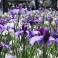 Photos: 水無月の紫