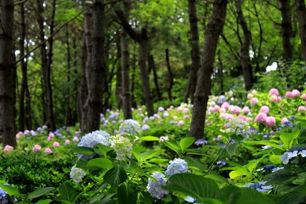 紫陽花の森